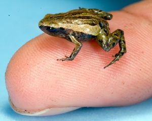 What evil lurks in the heart of this frog?